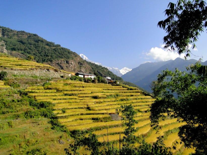 Annapurnas champs en terrasses